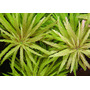 Limnophila aromatica - sadzonka