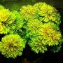 Limnophila sessiliflora - RA koszyk duży XXL