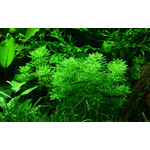 Limnophila sessiliflora - RATAJ (koszyk)
