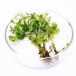 Limnophila sessiliflora - sadzonka