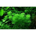 Limnophila sessiliflora - TROPICA (koszyk)