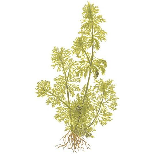 Limnophila sessiliflora - TROPICA (MP)