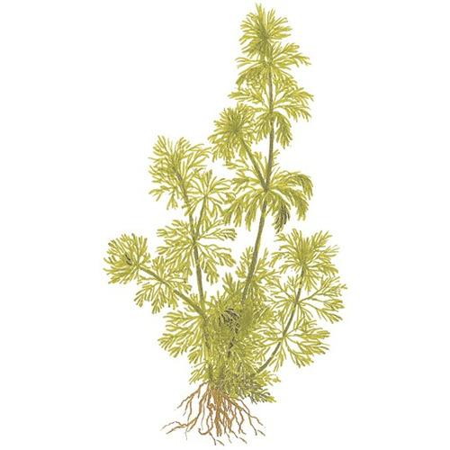 Limnophila sessiliflora - TROPICA (PCS)
