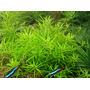 Limnophila sp. Mini Vietnam - RATAJ (koszyk)  - RARYTAS !!!