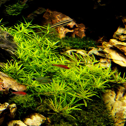 Limnophila sp. Scrophulariaceae - in-vitro Aqua-Art - RARYTAS!!