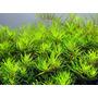 Limnophila vietnam mini - RA koszyk duży XXL