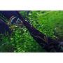 Lindernia rotundifolia - TROPICA (koszyk)