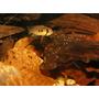 Liście morwy do akwarium [1l] - naturalny pokarm dla krewetek