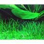 Littorella uniflora (in-vitro) puszka 7cm TROPICA