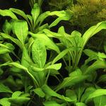 Lobelia cardinalis (in-vitro) - in-vitro Aqua-Art