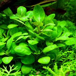 Lobelia cardinalis - RATAJ (koszyk)