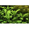 Lobelia cardinalis - TROPICA (koszyk)