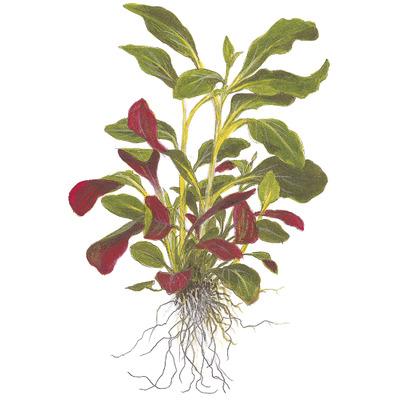 Lobelia cardinalis - TROPICA (MPi)