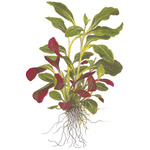 Lobelia cardinalis - TROPICA (opakowanie mini)