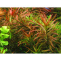 Ludwigia arcuata (in-vitro) puszka 10cm XXL