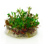 Ludwigia arcuata - in-vitro Aqua-Art