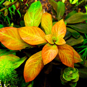 Ludwigia Atlantis (Dark Orange) - RA koszyk XXL