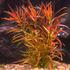 Ludwigia brevipes (in-vitro) puszka 10cm XXL