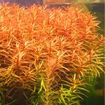 Ludwigia brevipes (in-vitro) puszka 7cm
