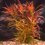 Ludwigia brevipes - in-vitro Aqua-Art