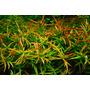 Ludwigia brevipes - sadzonka