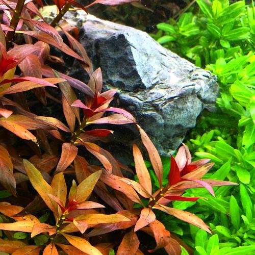 Ludwigia glandulosa - PLANTACJA (koszyk)