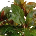 Ludwigia glandulosa - TROPICA (koszyk)