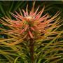 Ludwigia inclinata verticillata - RATAJ (koszyk)