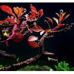 Ludwigia mini sp. super red (in-vitro) puszka 10cm XXL