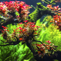 Ludwigia mini sp. super red (in-vitro) puszka 5cm