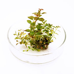 Ludwigia mini sp. super red - sadzonka