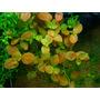 Ludwigia ovalis - in-vitro Aqua-Art