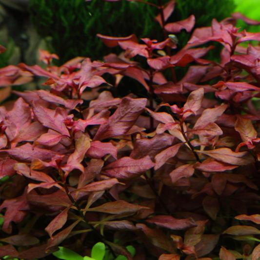 Ludwigia palustris - RA koszyk XXL