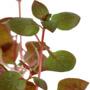Ludwigia palustris Super Red - TROPICA (koszyk)