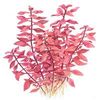 Ludwigia palustris - TROPICA (koszyk)