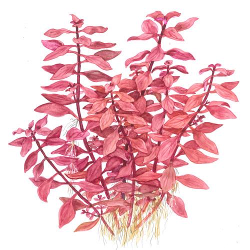 Ludwigia palustris TROPICA (koszyk)
