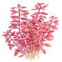 Ludwigia palustris TROPICA in-vitro (w żelu)