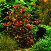 Ludwigia rubin / mesakana (in-vitro) puszka 10cm XXL