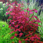 Ludwigia sp. MINI Super Red - in-vitro Aqua-Art