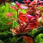 Ludwigia sp. MINI Super Red - RA koszyk XXL