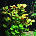 Ludwigia species - PLANTACJA (koszyk)