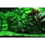 Marsilea crenata (in-vitro) puszka 10cm XXL