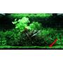 Marsilea crenata (in-vitro) puszka 5cm