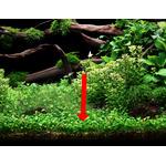 Marsilea hirsuta (in-vitro) puszka 10cm XXL
