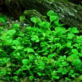 Marsilea hirsuta (in-vitro) puszka 5cm