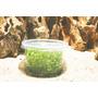 Marsilea quadrifolia (in-vitro) puszka 5cm
