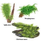 Mchy na trawnik w akwarium (mech Taiwan moss).