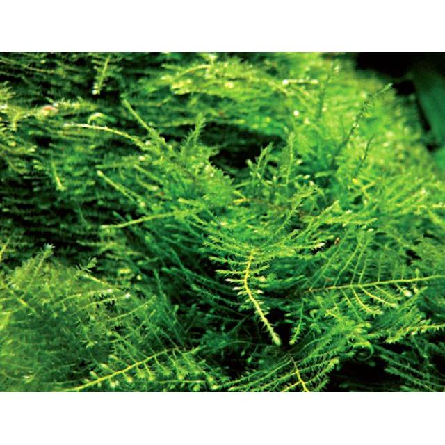 Mech Anchor moss (Taxiphyllum sp.)