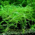 Mech Brazil moss (Amblystegium sp.) - opakowanie