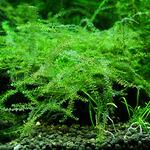 Mech Brazil moss (Amblystegium sp.) - [opakowanie]